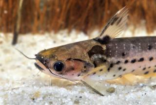 Auchenipterichthys punctatus