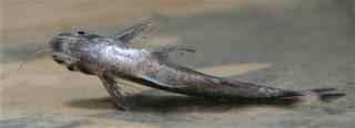 Entomocorus radiosus