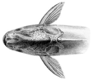 Pseudauchenipterus jequitinhonhae