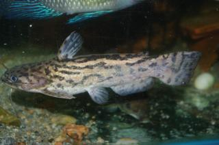 Trachelyopterus lucenai