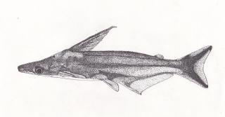 Tympanopleura atronasus