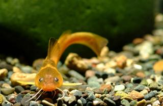 Tachysurus koreanus
