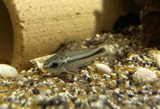 Corydoras(ln4) pygmaeus