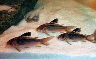 Corydoras(ln5) sp. (Cw095)
