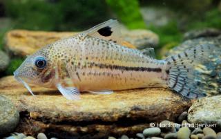 Corydoras(ln8sc4) orphnopterus