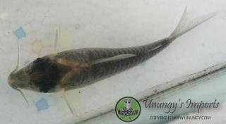 Corydoras(ln8sc4) sp. (Cw101)