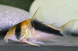 Corydoras(ln8sc4) sp. (Cw106)