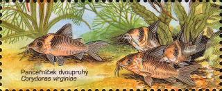 Corydoras(ln8sc4) virginiae