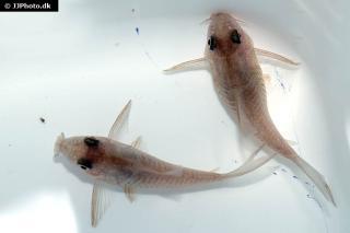 Corydoras(ln9) polystictus