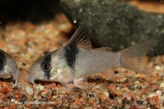 Corydoras(ln9) sp. (Cw049)