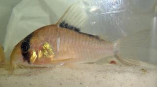 Corydoras(ln9) sp. (Cw071)