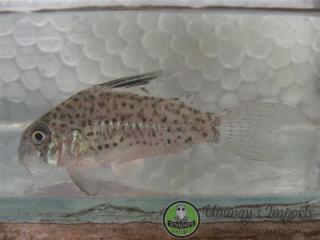 Corydoras(ln9) sp. (Cw079)