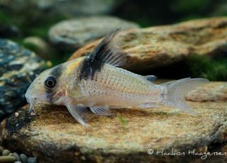 Corydoras(ln9) sp. (Cw098)