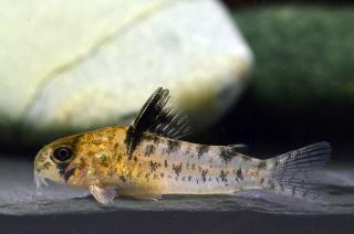 Corydoras(ln9) sp. (Cw104)