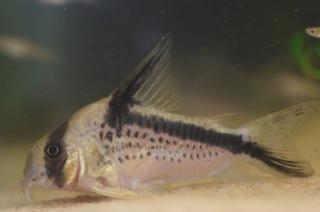 Corydoras(ln9) sp. (Cw125)