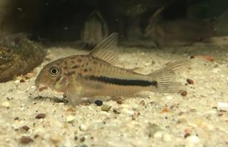 Corydoras(ln9) sp. (Cw137)