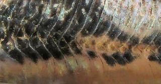 Scleromystax barbatus