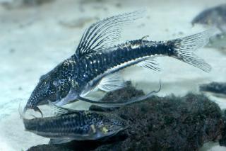 PlanetCatfish.com - Scleromystax sp. (C113) ? Callichthyidae ? Cat ...