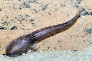 Denticetopsis seducta