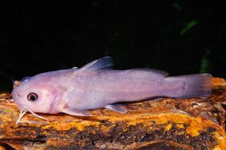 Lophiobagrus cyclurus