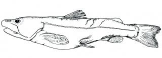 Diplomystes nahuelbutaensis