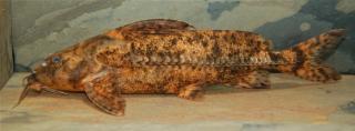 Rhinodoras gallagheri