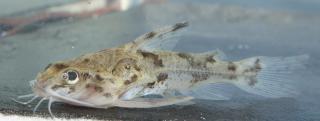 Scorpiodoras heckelii