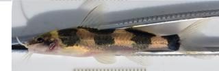 Cetopsorhamdia molinae
