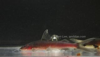 Cetopsorhamdia sp. (2)
