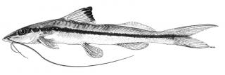 Pimelodella procera