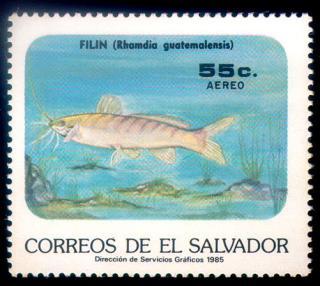 Rhamdia guatemalensis