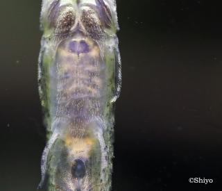 Acestridium triplax