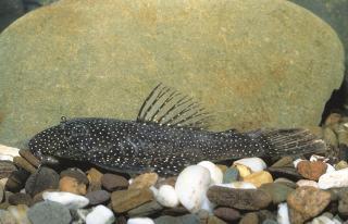 Ancistrus aguaboensis