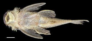 Ancistrus leucostictus