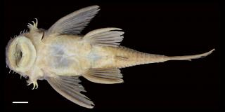 Ancistrus lithurgicus