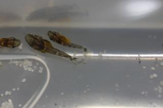 Ancistrus sp. hybrid(1)