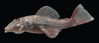 Andeancistrus platycephalus
