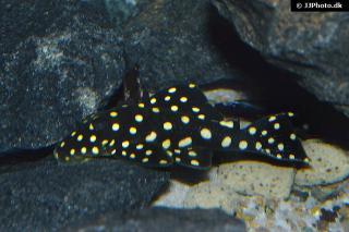 Baryancistrus sp. (L142)