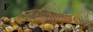 Chaetostoma chimu