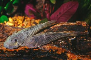 Chaetostoma formosae