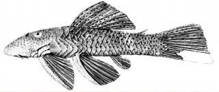 Chaetostoma lineopunctatum