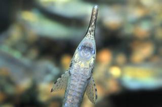 Farlowella paraguayensis