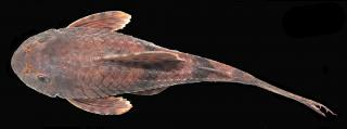 Hemiancistrus furtivus