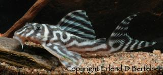 Hypancistrus sp. (L173)