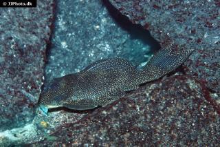 Hypancistrus sp. (L262)