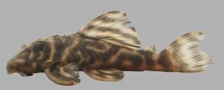 Hypancistrus sp. (L475)