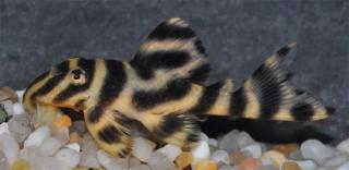 Hypancistrus sp. (L499)