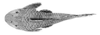 Hypostomus ericae