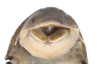 Hypostomus hemiurus