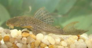Hypostomus johnii